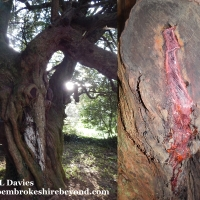 Ghosts, Myths, Legends & a bleeding tree!! Incredible Nevern!
