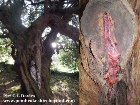 The bleeding yew at Nevern Church.